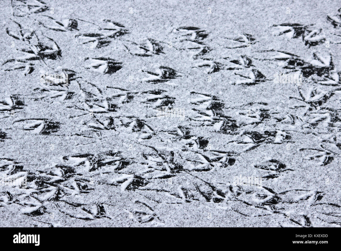 Footprints of ducks on the surface of the lake, covered with a thin layer of ice and snow - Stock Image