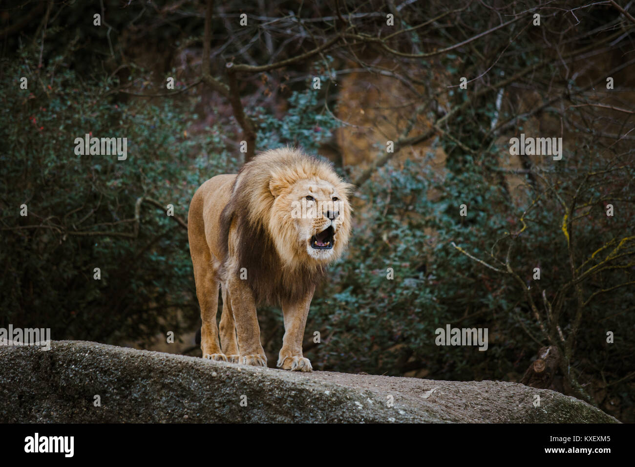 One adult male lion expresses aggression, growls showing teeth on a stone in the zoo of Basel in Switzerland in - Stock Image