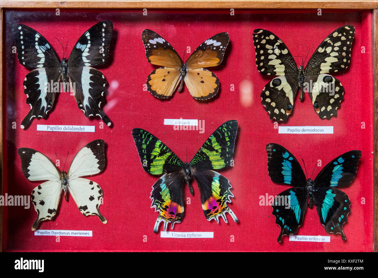 Framed specimen of colorful butterflies for sell in a local souvenir store. Madagascar, Africa. - Stock Image