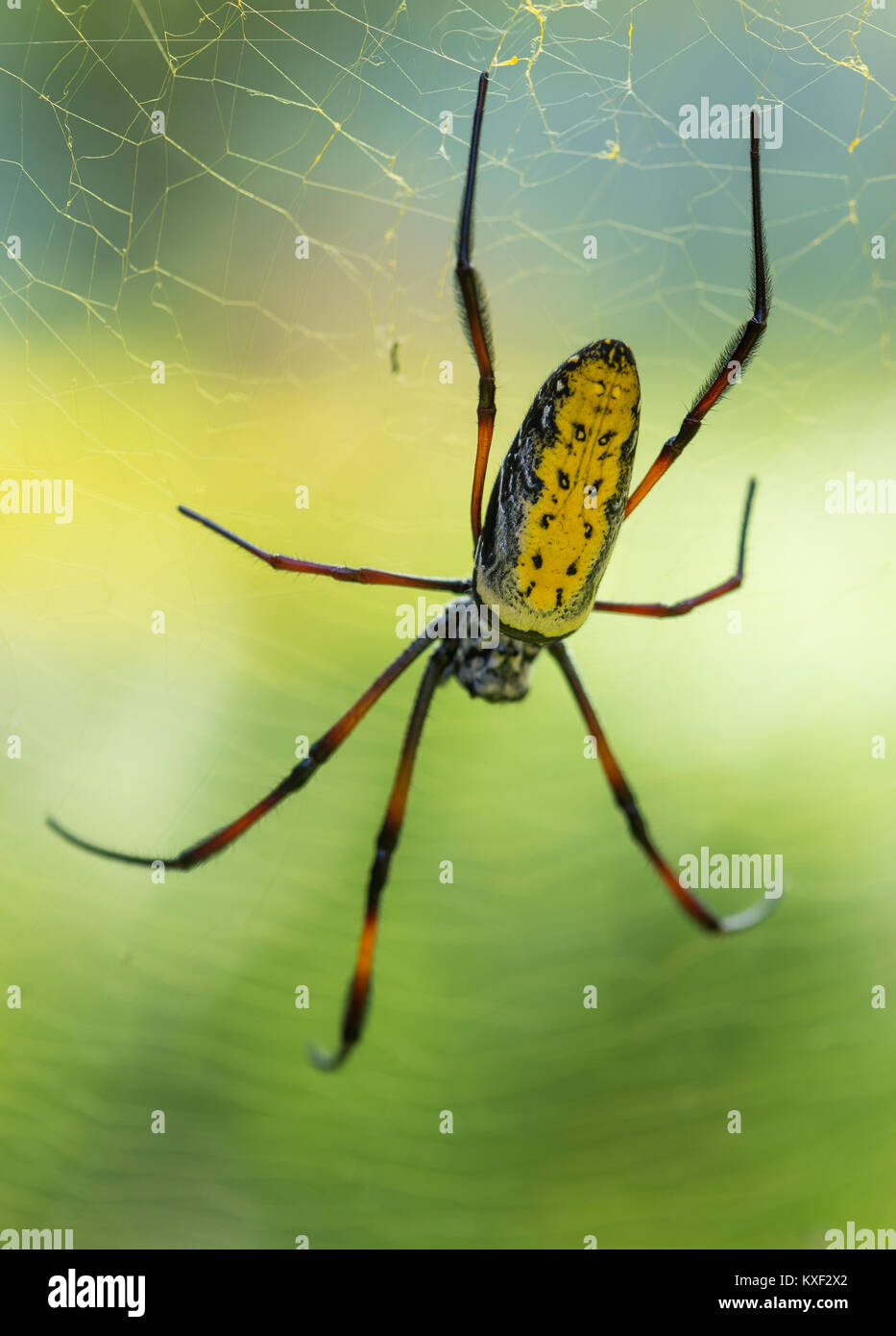 A colorful Red-legged Golden orb-web spider (Nephila inaurata madagascariensis). Ranomafana National Park. Madagascar, Stock Photo