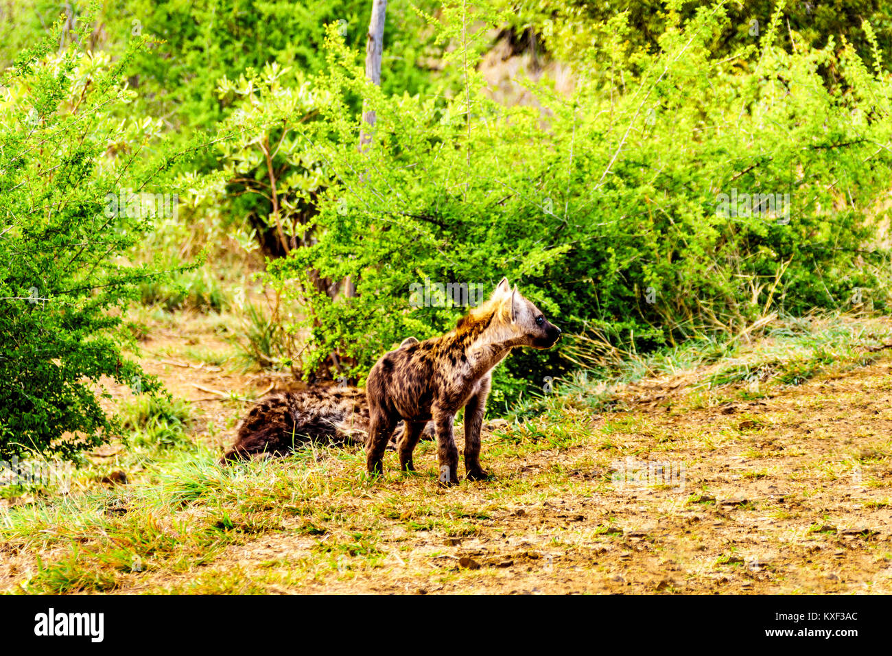 Juvenile Hyena in Kruger National Park in South Africa - Stock Image