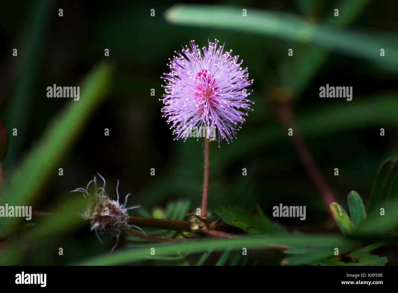 Sensitive plant, Shame plant, Mimosa pudica in Kabini Karnataka India - Stock Image