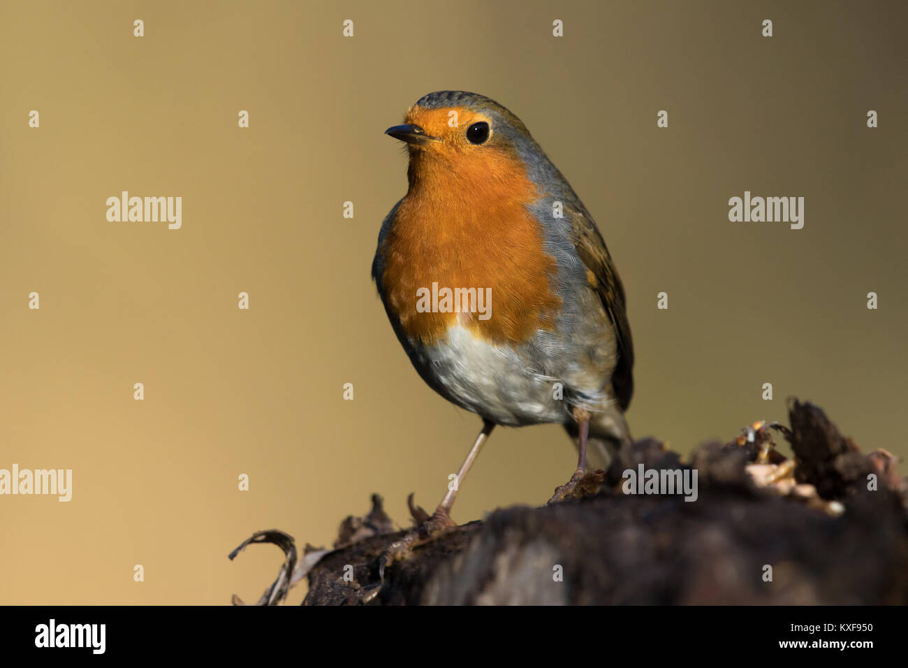 European Robin (Erithacus rubecula) - Stock Image