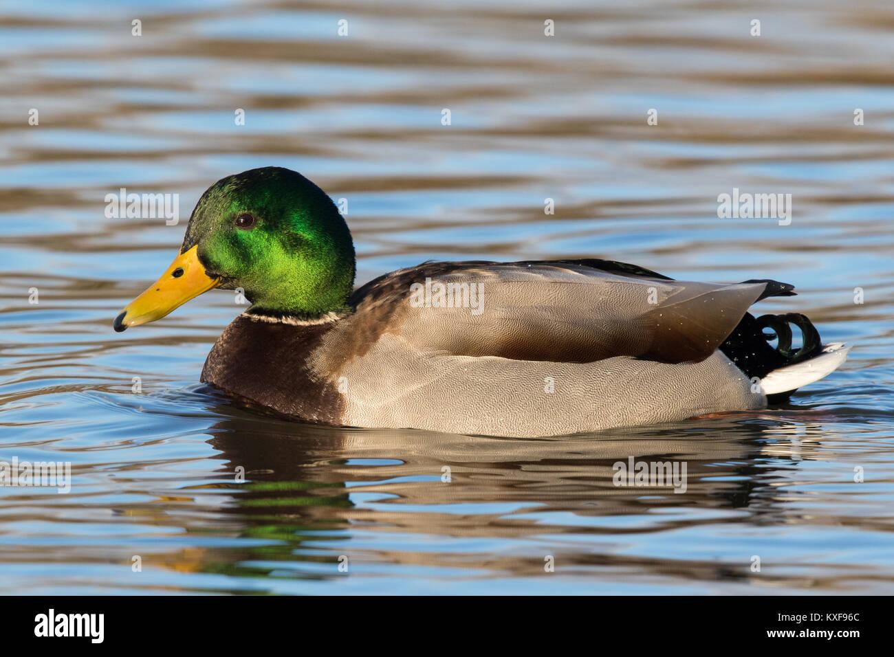 male Mallard (Anas platyrhynchos) swimming in a calm lake - Stock Image