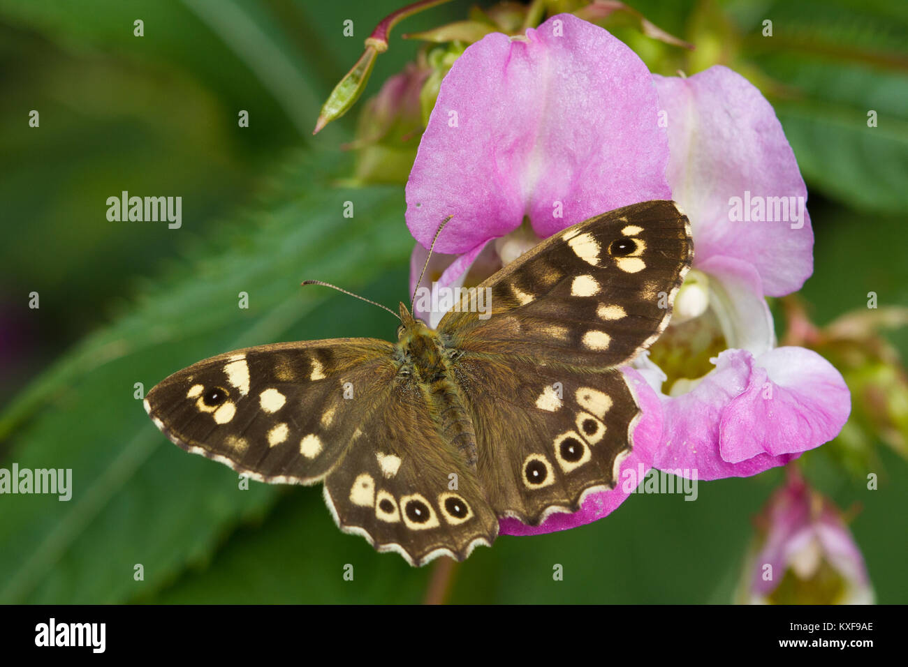 Speckled Wood (Pararge aegeria) feeding on an Indian Balsam (Impatiens gladulifera) flower - Stock Image
