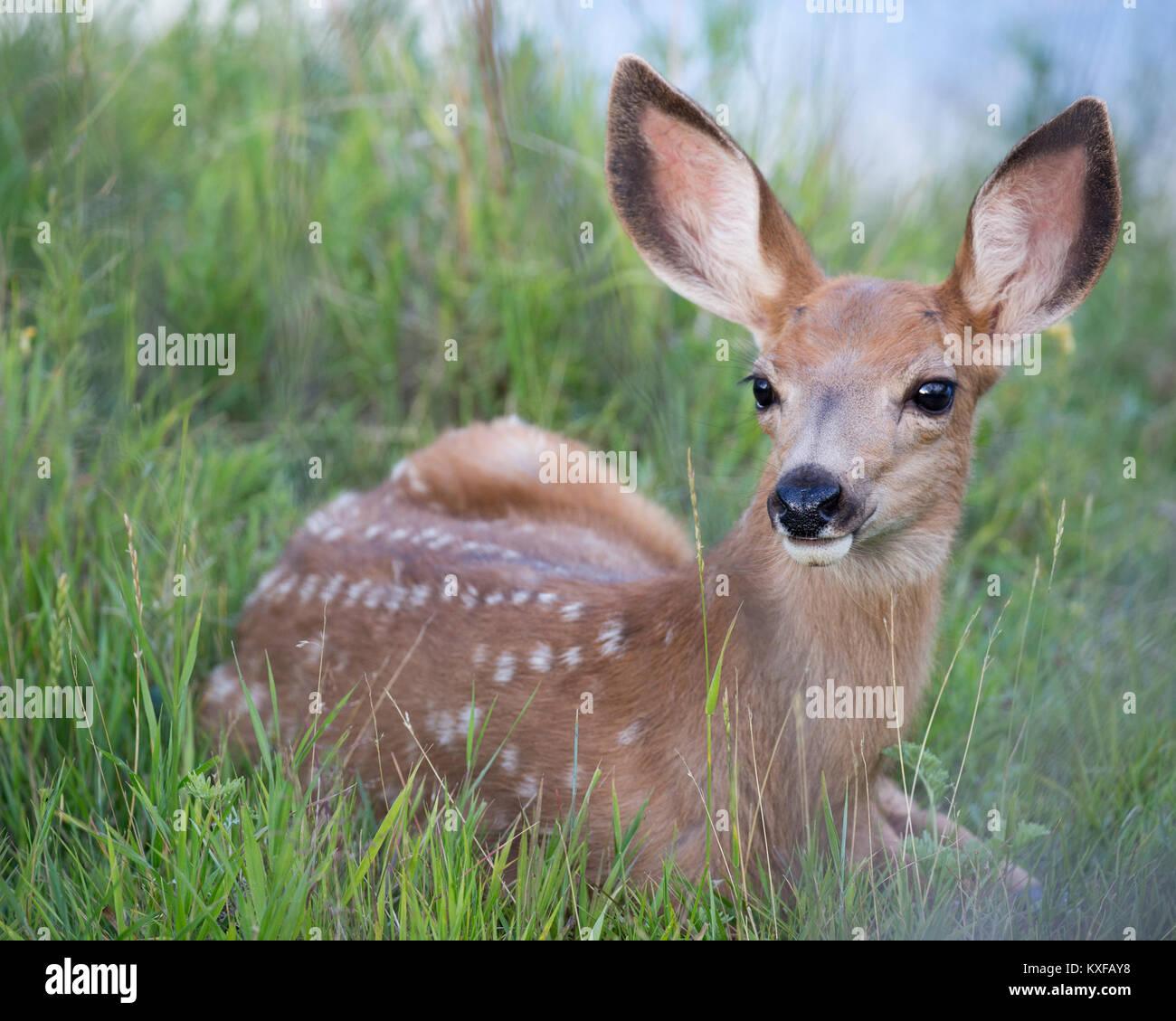 Mule Deer fawn (Odocoileus hemionus) - Stock Image