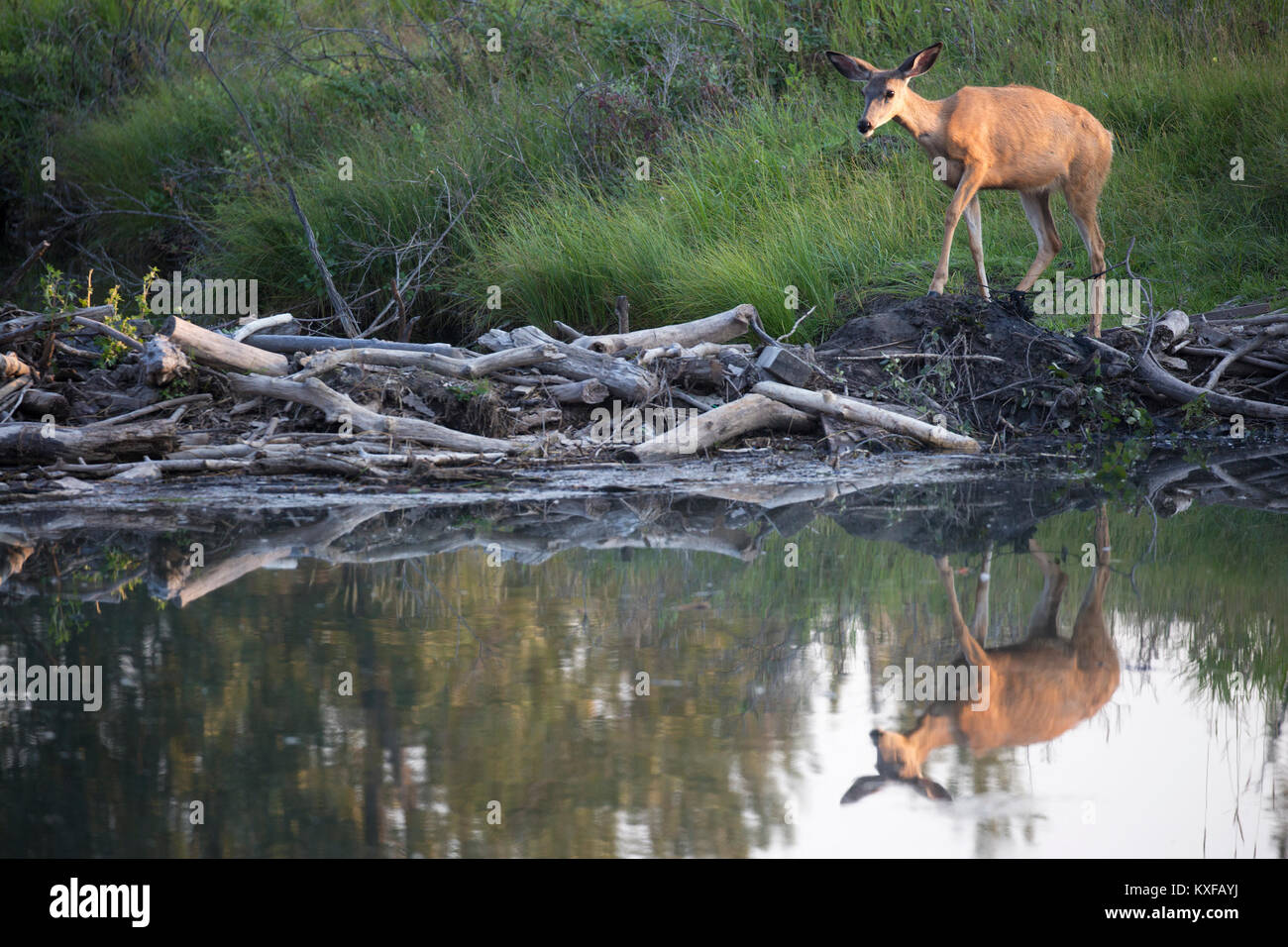 Mule Deer walking across beaver pond (Odocoileus hemionus) - Stock Image