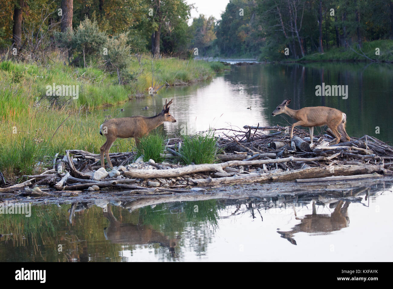 Mule Deer doe and buck walking across beaver dam (Odocoileus hemionus) - Stock Image