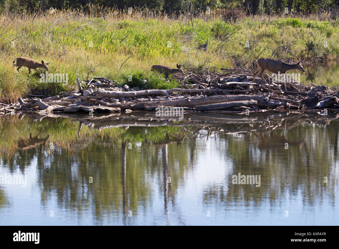 Mule Deer doe with fawns walking across beaver dam  (Odocoileus hemionus) - Stock Image