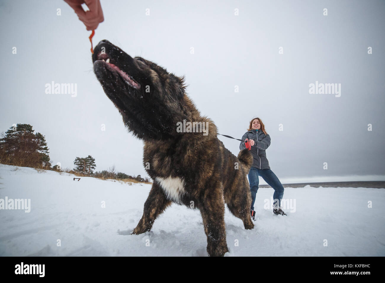 Master and her obedient Caucasian Shepherd dog playing in winter forest - Stock Image