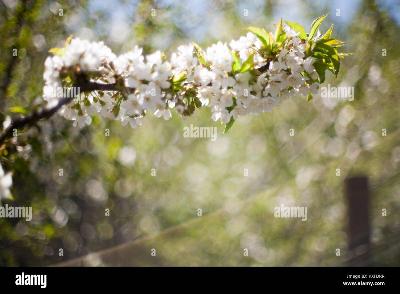Spring Apple Trees In Blossom Flowers Of Apple White Blooms Of