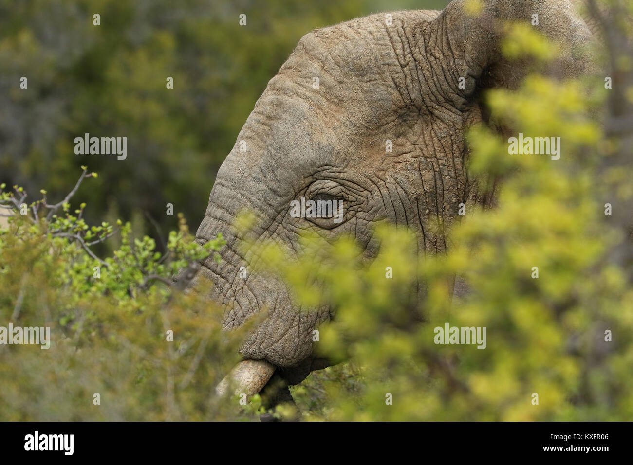 Close up of Elephants in the Addo Elephants National Park, South Africa. - Stock Image