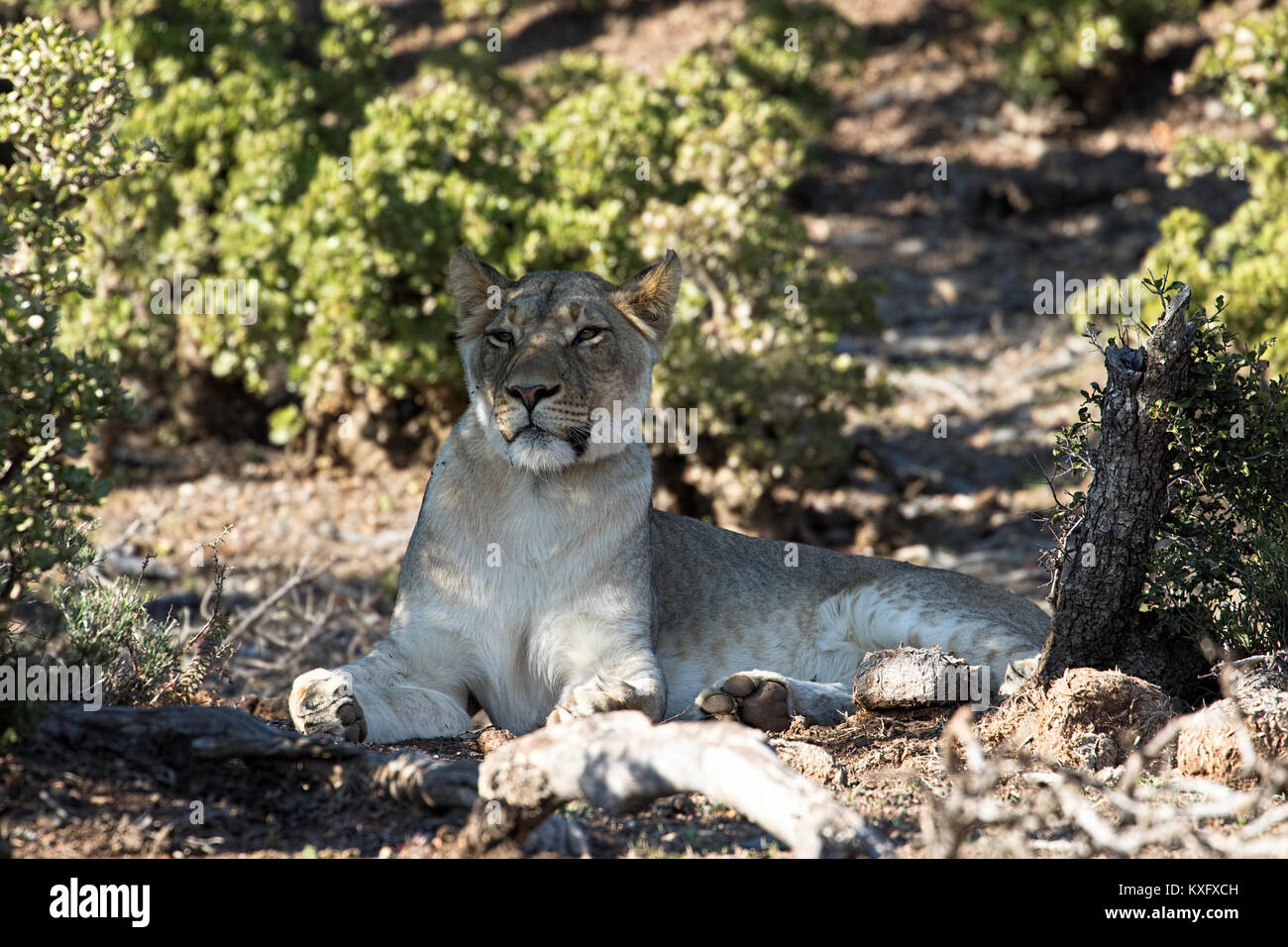 Close up of female lion in the Addo Elephant National Park, South Africa Stock Photo