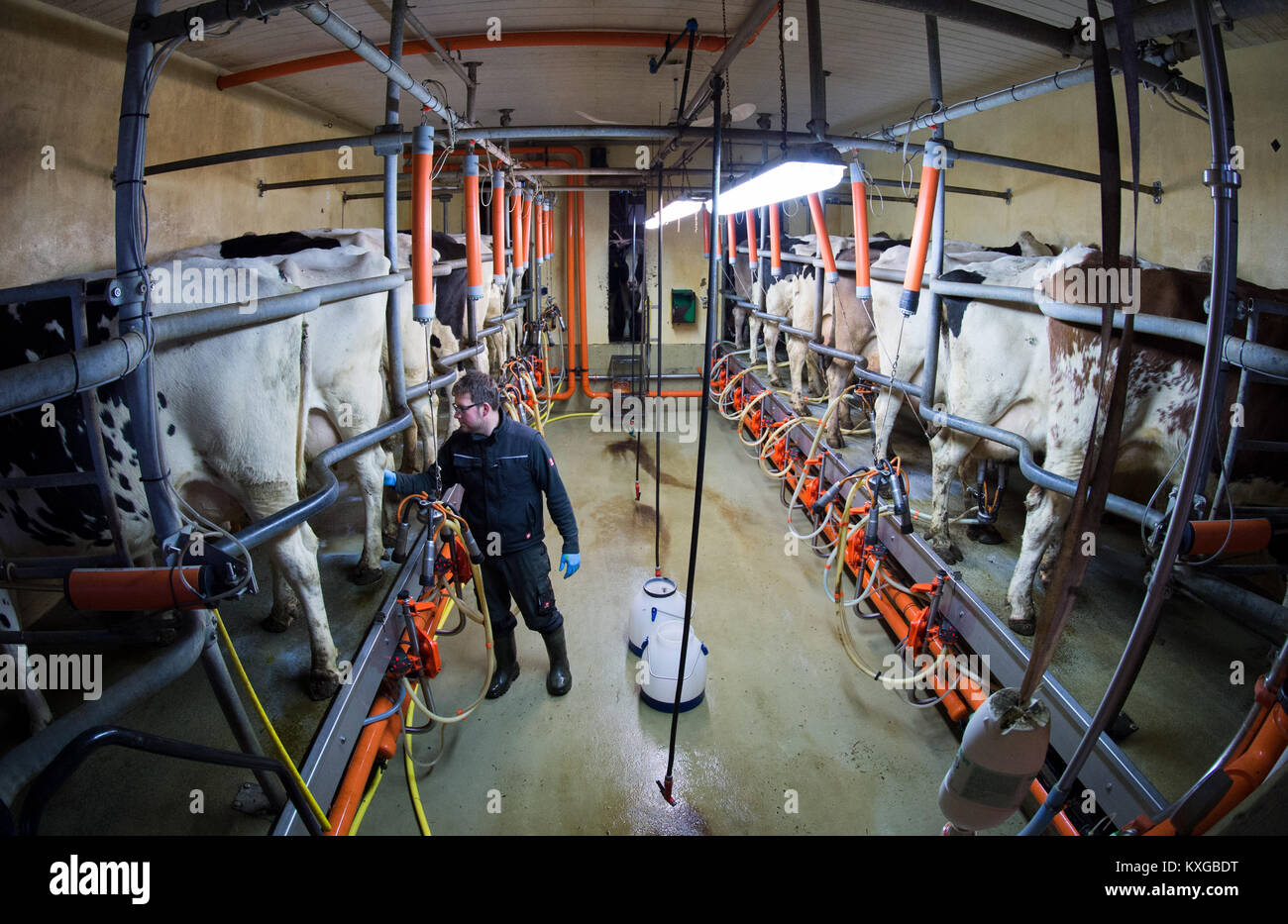 Much, Germany. 08th Jan, 2018. Farmer Marc Faerfers disinfecting a cow's udder after its milking in his milking - Stock Image