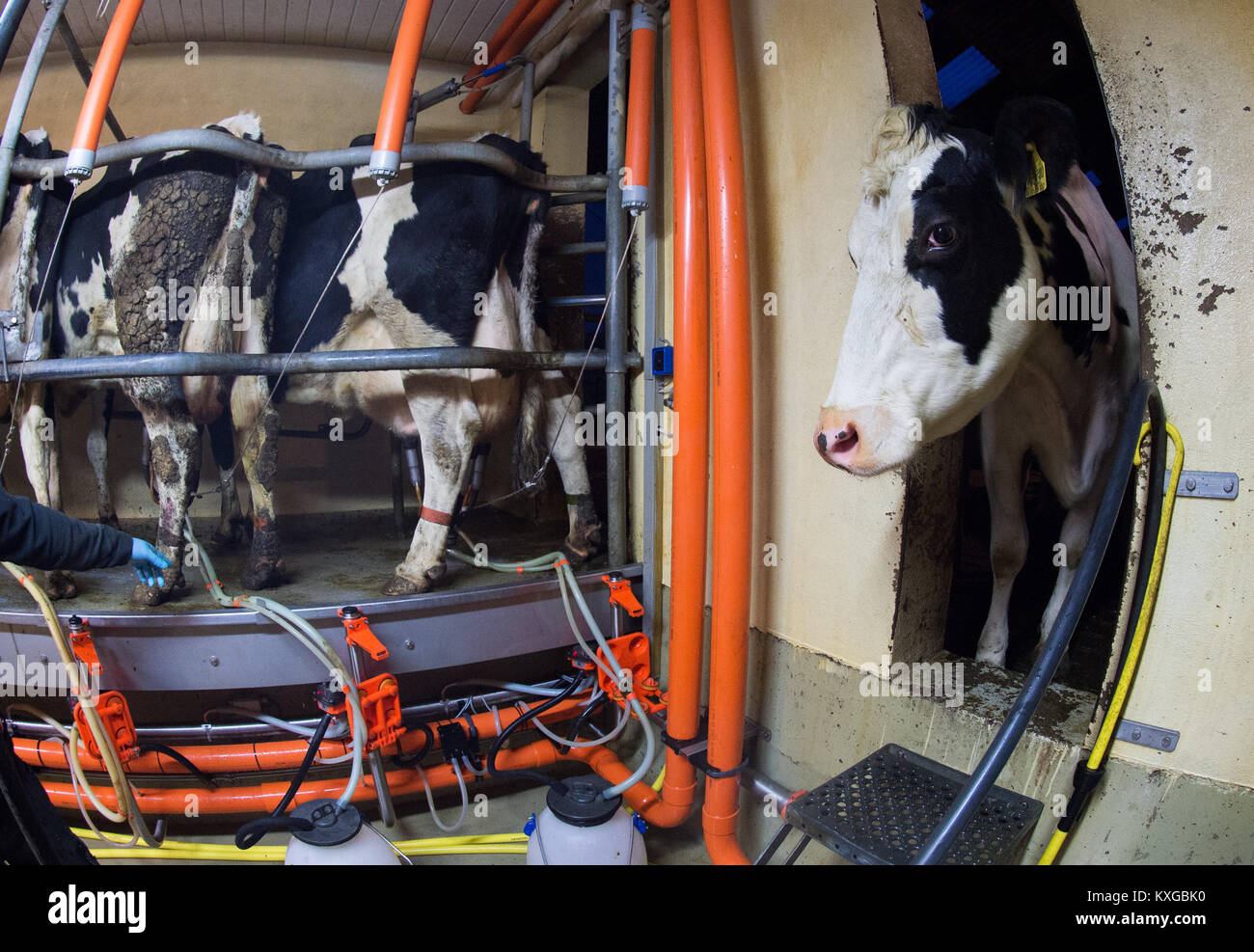 Much, Germany. 08th Jan, 2018. A dairy cow witnessing the milking of other cows in farmer Faerfers' dairy farm - Stock Image