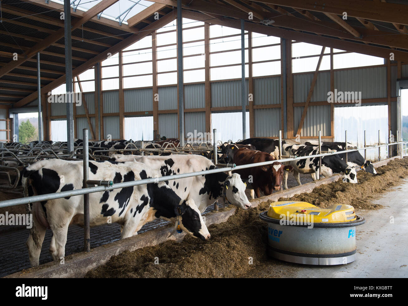 Neunkirchen-Seelscheid, Germany. 08th Jan, 2018. Farmer Marcel Andree's cows standing in a stall in Neunkirchen - Stock Image