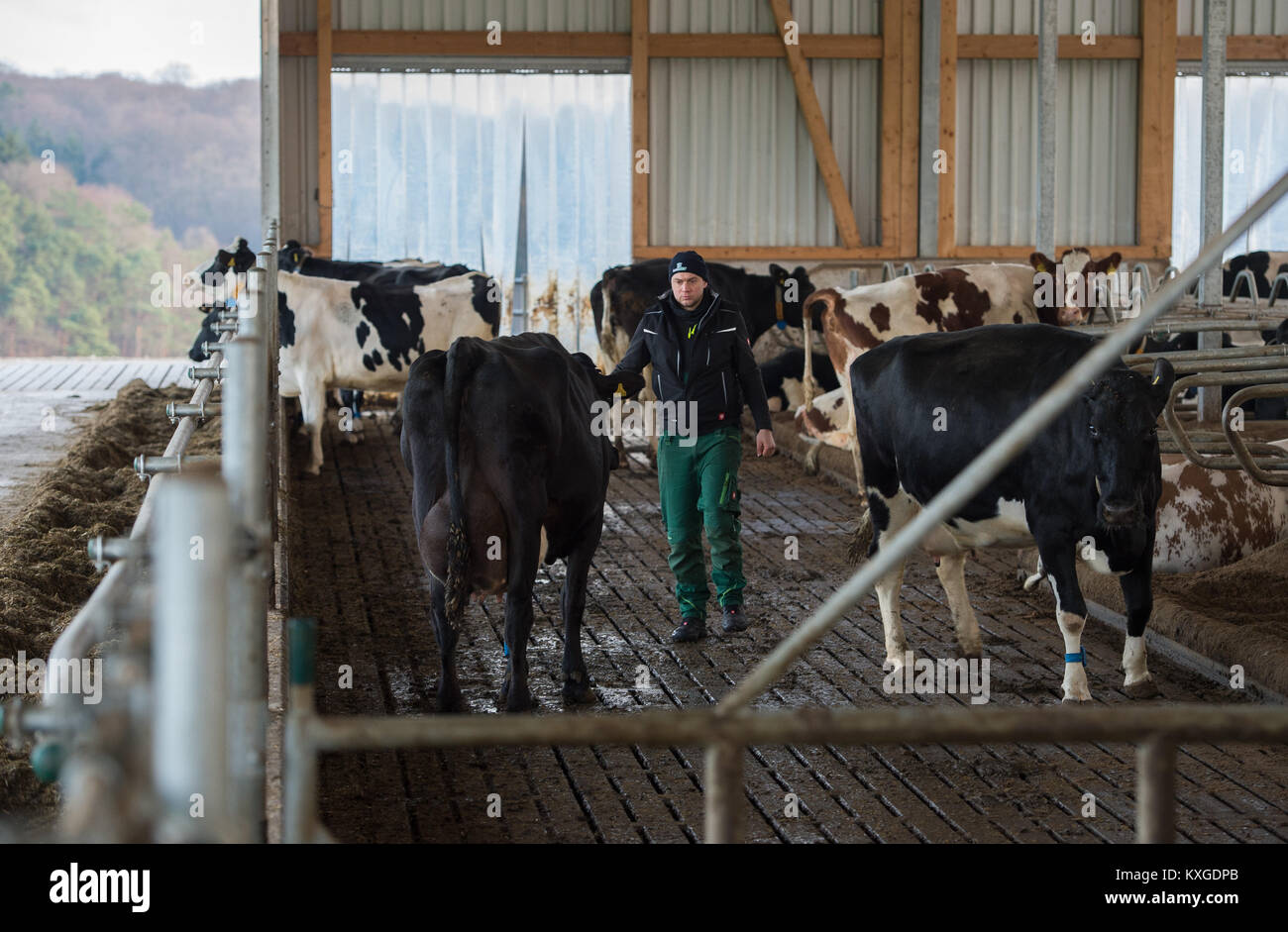 Neunkirchen-Seelscheid, Germany. 08th Jan, 2018. Farmer Marcel Andree driving a cow to a milking machine in Neunkirchen - Stock Image