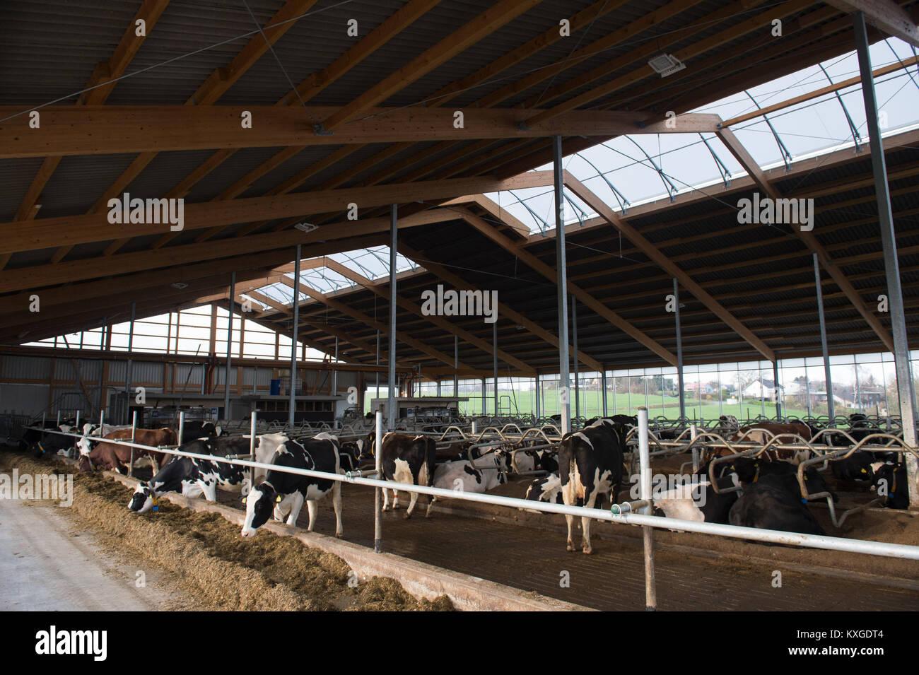 Neunkirchen-Seelscheid, Germany. 08th Jan, 2018. Farmer Marcel Andree's cows standing in a stall in Neunkirchen - Stock Image