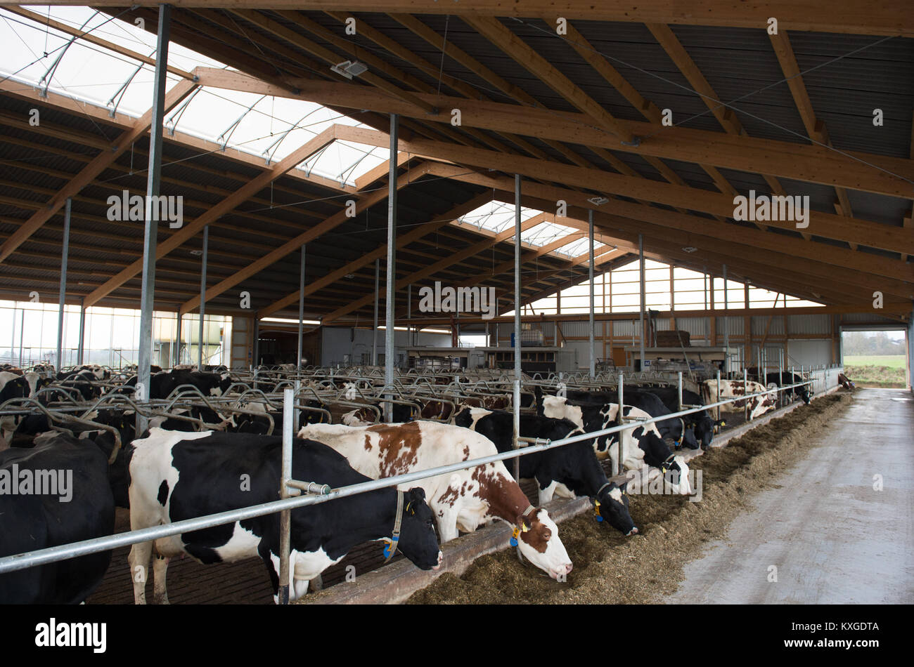 Neunkirchen-Seelscheid, Germany. 08th Jan, 2018. Farmer Marcel Andree's cows eating grass silage in a barn in - Stock Image