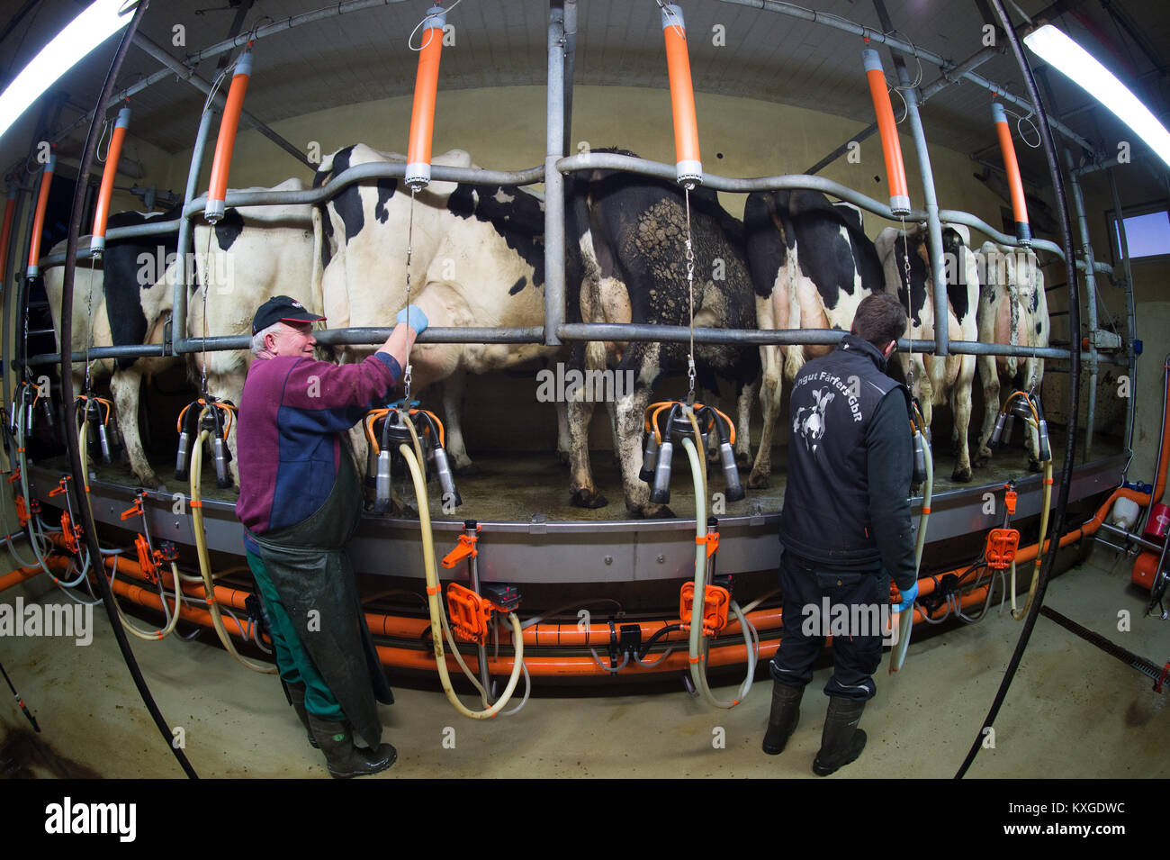 Much, Germany. 08th Jan, 2018. Farmer Marc Faerfers (L) and his father disinfecting a cow's udder after its - Stock Image