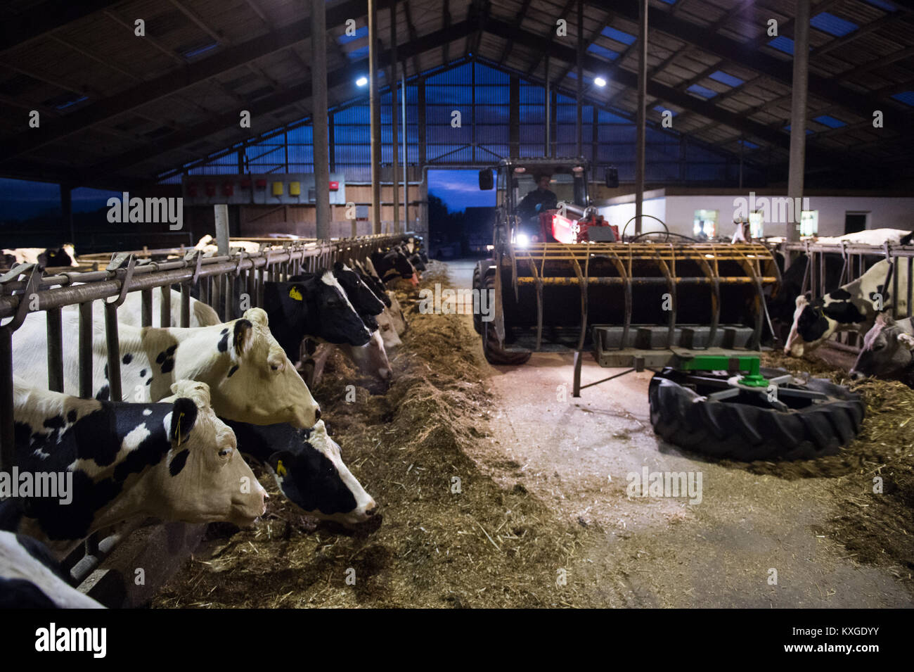 Much, Germany. 08th Jan, 2018. Farmer Marc Faerfers sitting on a tractor and pushing grass silage for the cows after - Stock Image