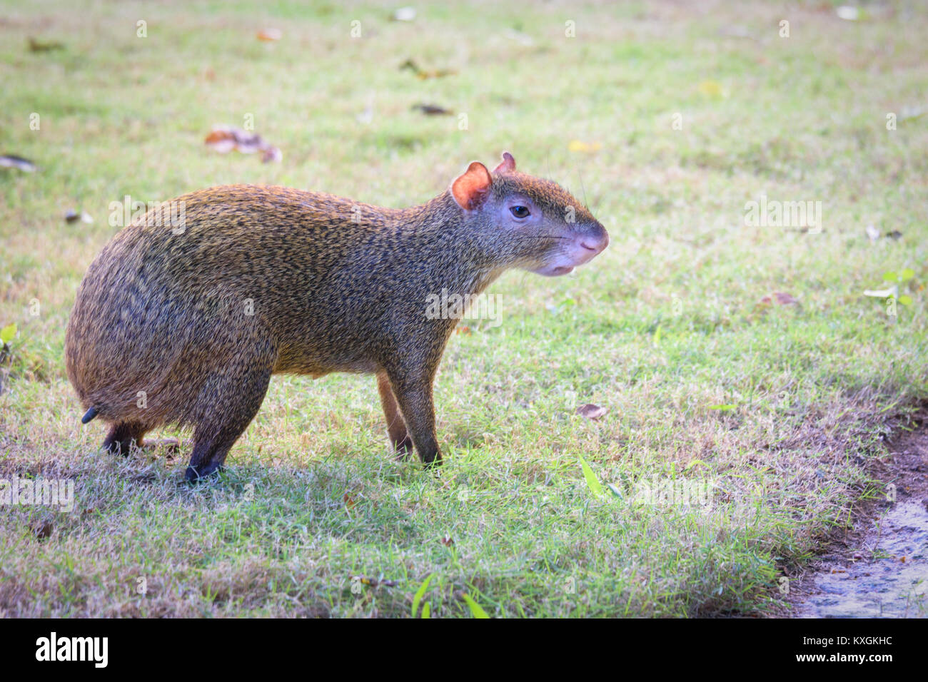 Agouti agoutis or Sereque rodent on green grass. Rodents of the Caribbean. - Stock Image