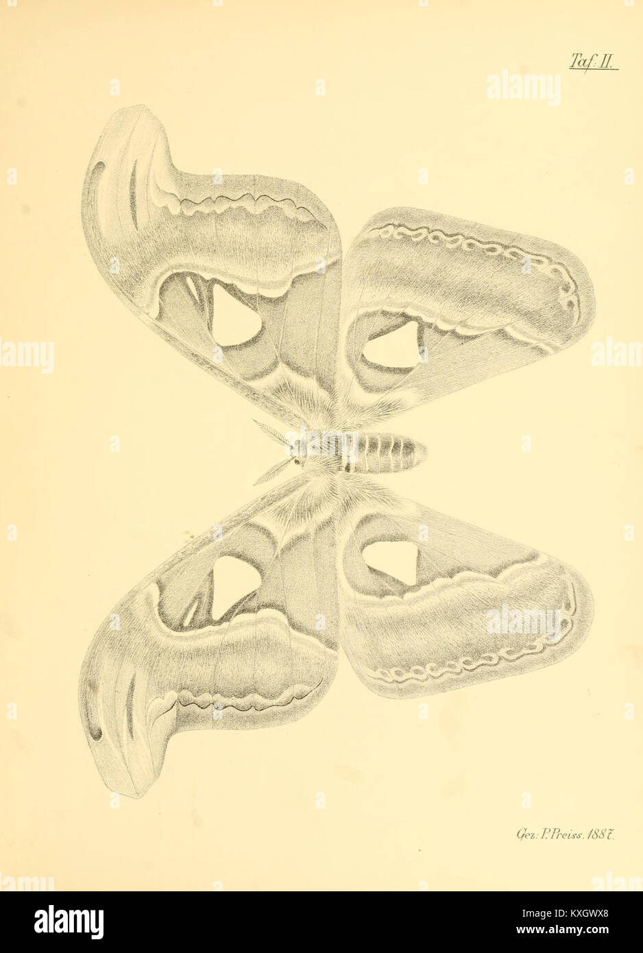 Abbildungen hervorragender Nachtschmetterlinge aus dem indo-australischen und südamerikanischen Faunengebiet - Stock Image