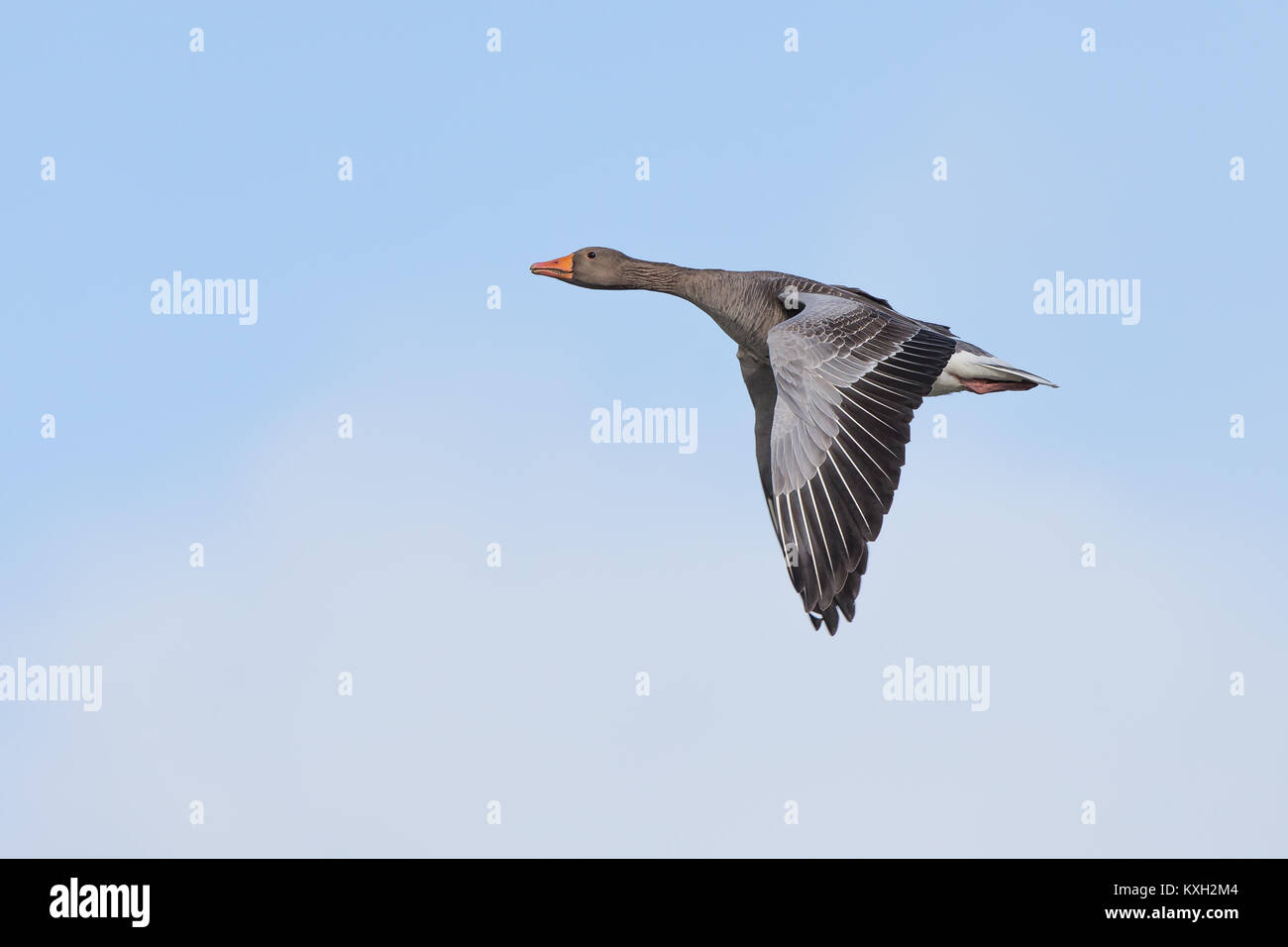 Side view of isolated UK greylag goose (Anser anser) flying upwards in clear blue sky, wings down, like Concorde Stock Photo