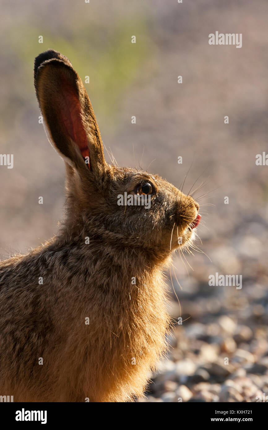 Sitting Common Hare (Lepus capensis) stick tounge out of its mouth, - Stock Image