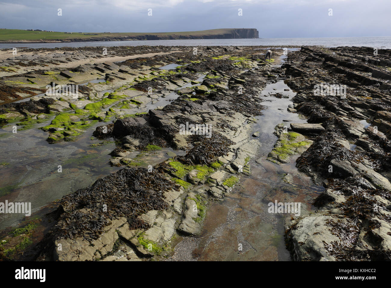 Brough Sound, the intertidal between Buckquoy and Brough of Birsay on Orkney Island, is exposed at low tide, when - Stock Image