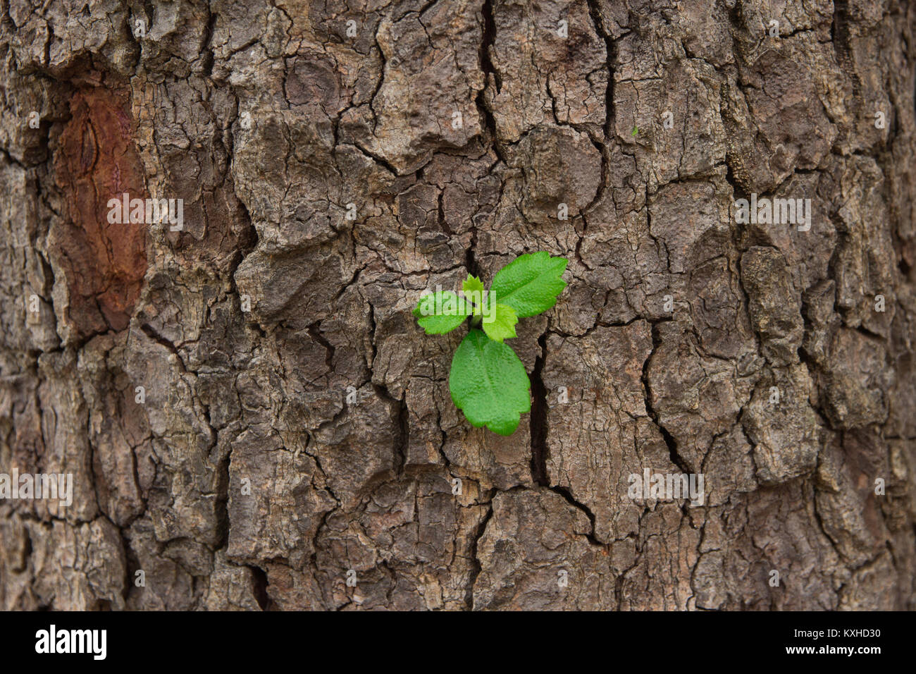 leaves against a background of oak bark. Autumn in an oak grove. Copy spaces. - Stock Image