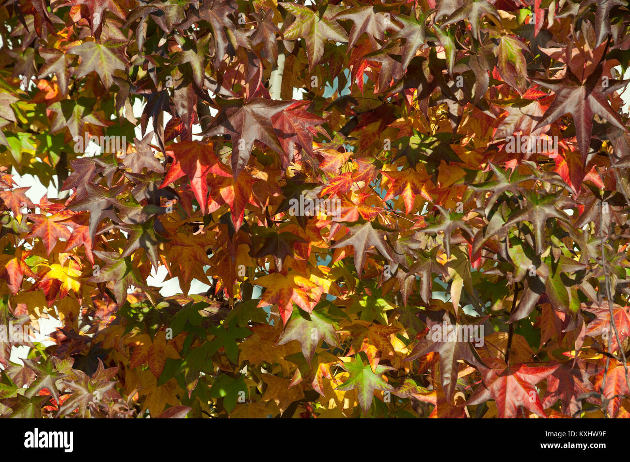 liquidamber tree with Red leaf - Stock Image