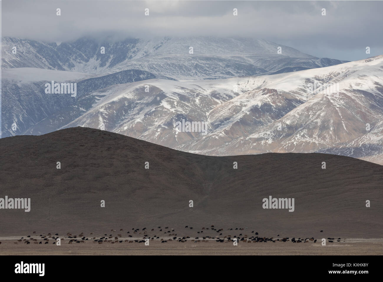 Mongolian landscape snowy mountains snow winter cloudy goat herd Mongolia - Stock Image
