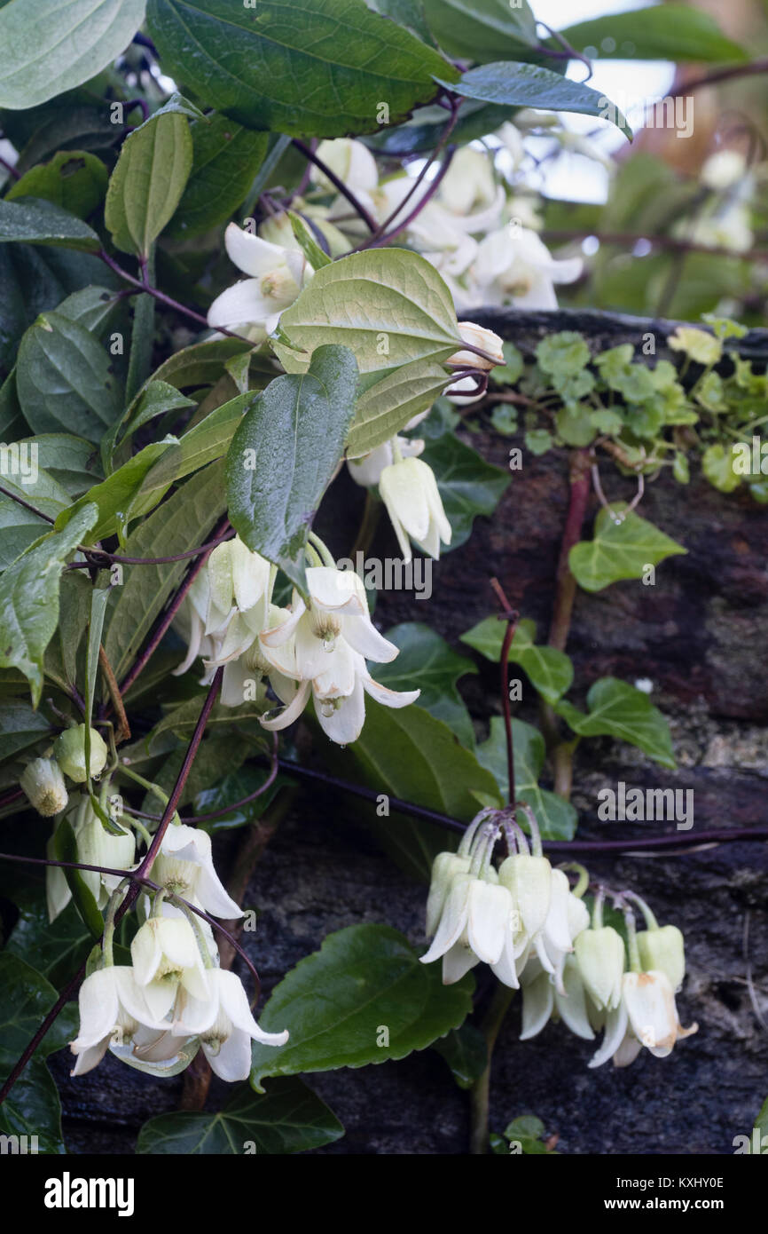 Bell like flowers stock photos bell like flowers stock images alamy close up of the white bell flowers of the winter blooming evergreen climber clematis urophylla mightylinksfo