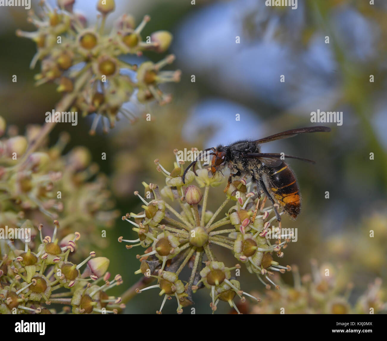 Asian wasp feeding on nectar from ivy flowers - Stock Image