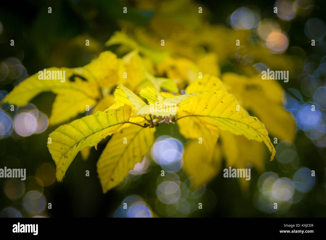 Zweig Laubfärbung im Herbst - Stock Image