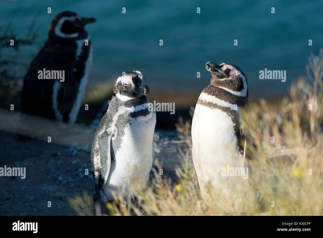 Magellanic penguin in natural environment, Peninsula Valdes, Patagonia, Argentina - Stock Image