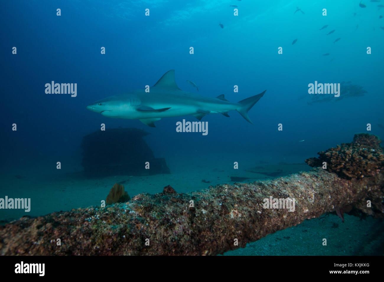 Bull shark, Punta Baja, Baja California, Mexico - Stock Image