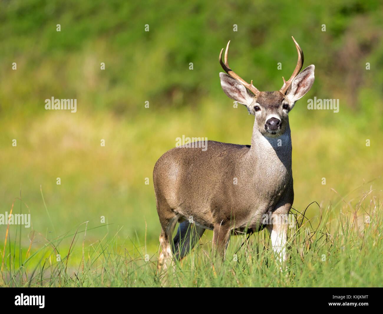 Portrait Of Mule Deer Buck Odocoileus Hemionus In Grassland Point