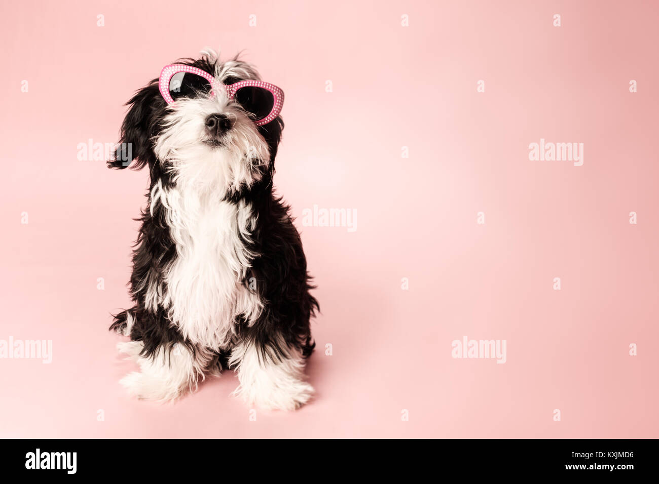 Dog Posing Wearing Sunglasses Cute Havaton Puppy Modeling In The