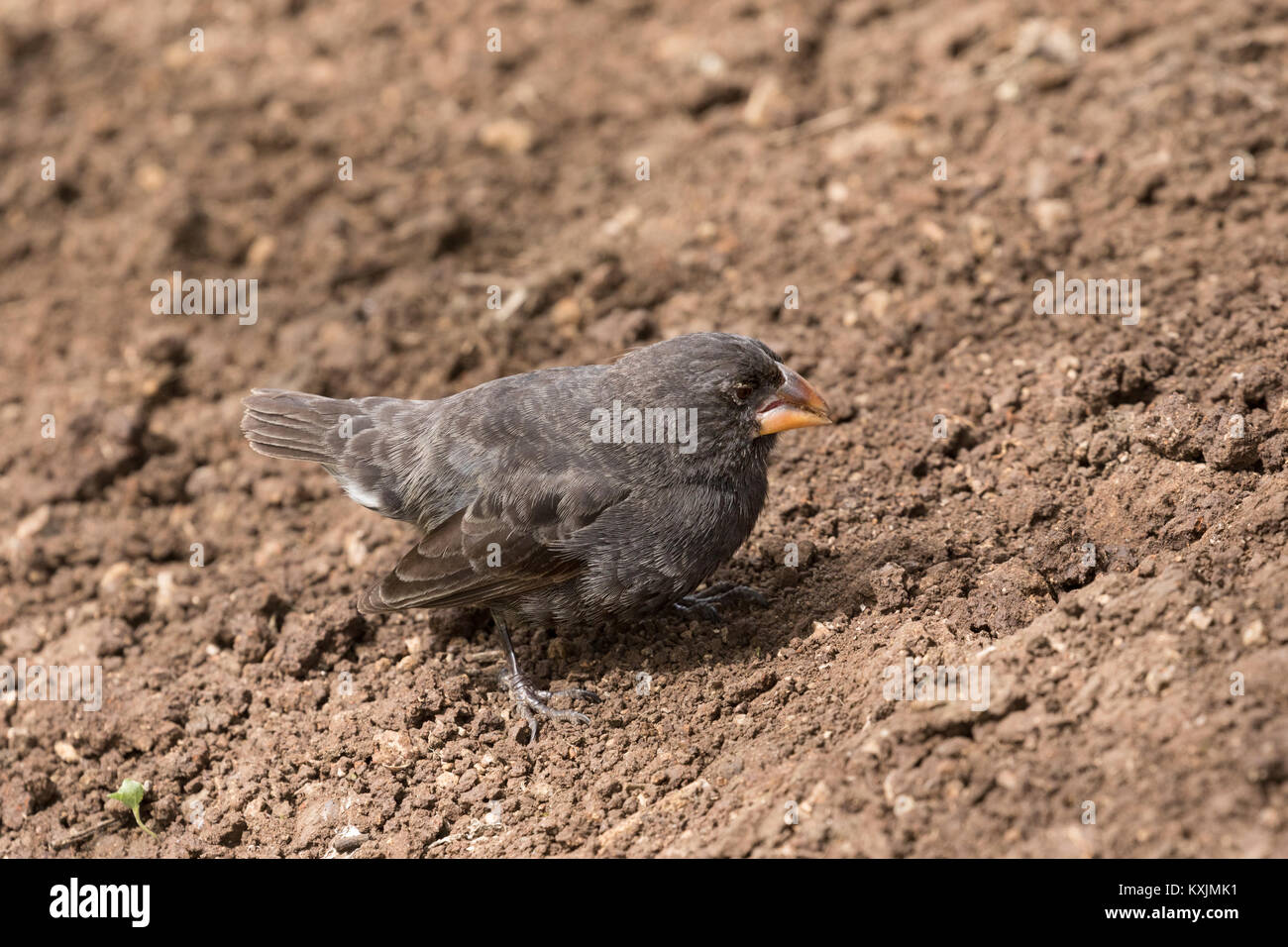 Small ground finch,( Geospiza fuliginosa ), a Darwin Finch, Espanola Island, Galapagos Islands Ecuador South America - Stock Image