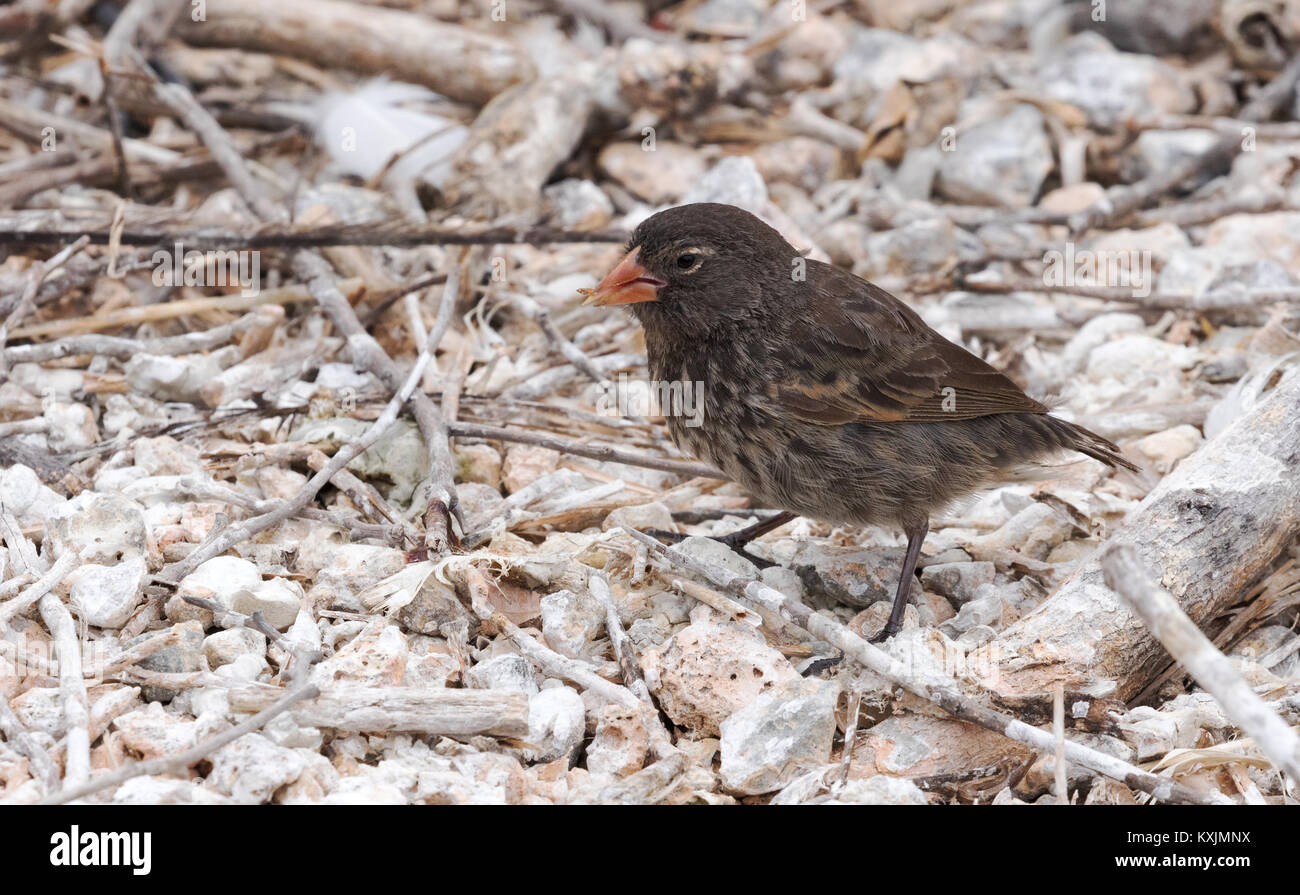 Sharp Beaked ground Finch ( Geospiza difficilis )- one of Darwins Finches, Genovesa Island, Galapagos Islands Ecuador - Stock Image
