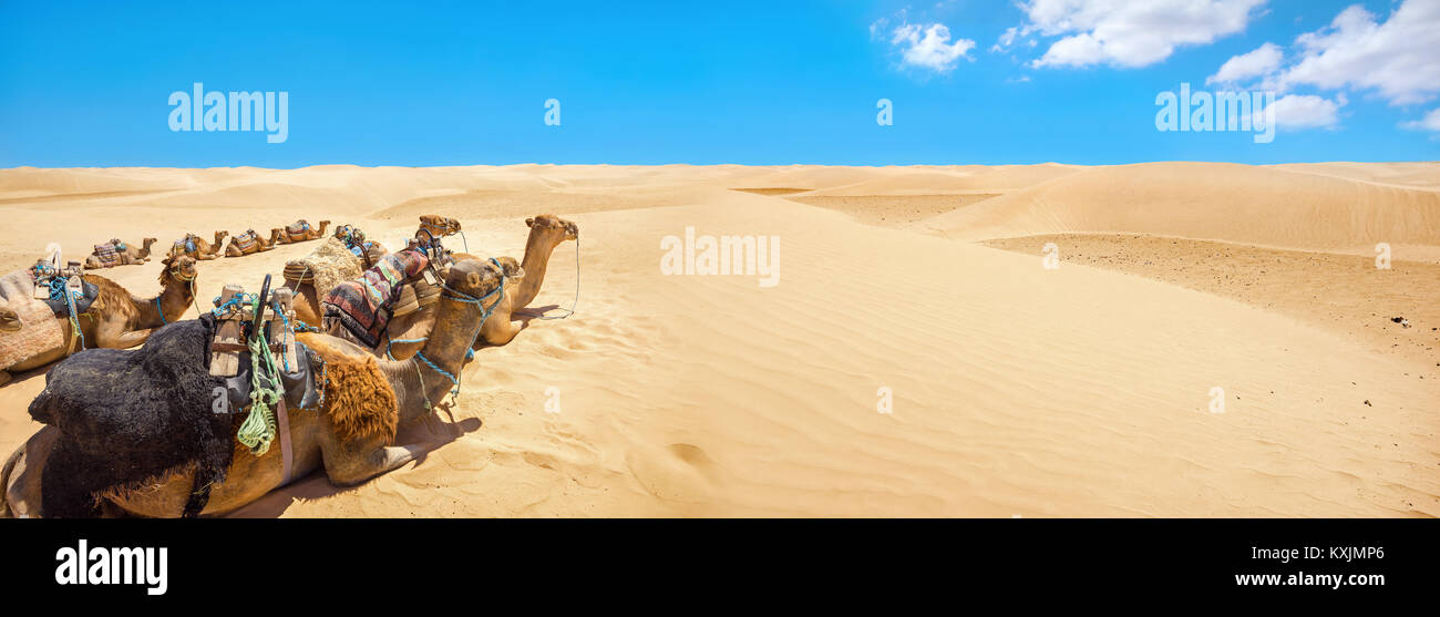 Panoramic landscape with camels waiting of tourists at Sahara desert. Tunisia, North Africa - Stock Image