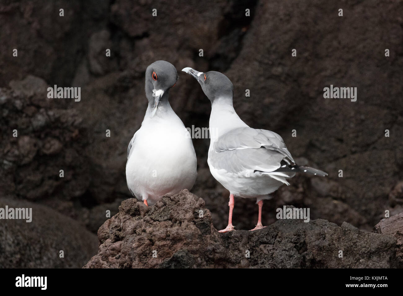 A pair of Swallow Tailed Gull showing courting behaviour, ( Creagrus furcatus ),  Genovesa Island, Galapagos Islands - Stock Image