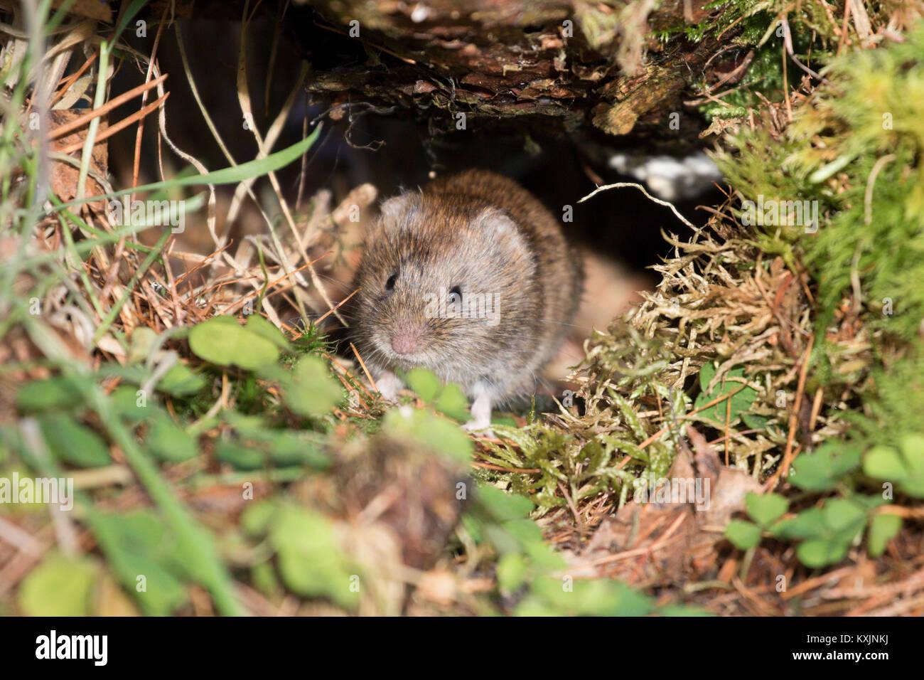 Bank Vole (Myodes glareolus) in the forest, Scottish Highlands, United Kingdom - Stock Image