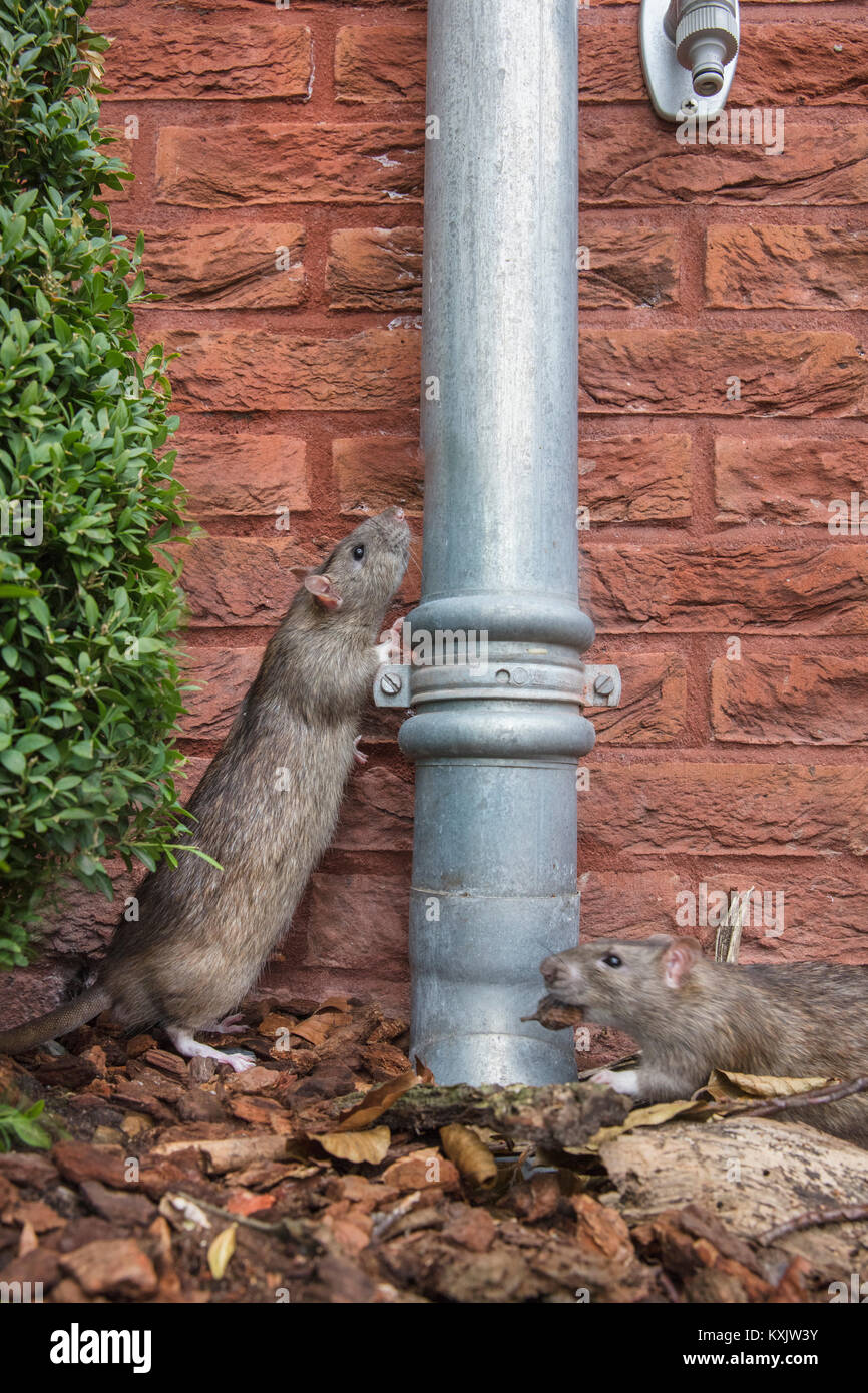 The Netherlands, Amsterdam, Brown rat (Rattus Norvegicus) near house in garden. Urban Nature. Amsterdam Urban Jungle. - Stock Image