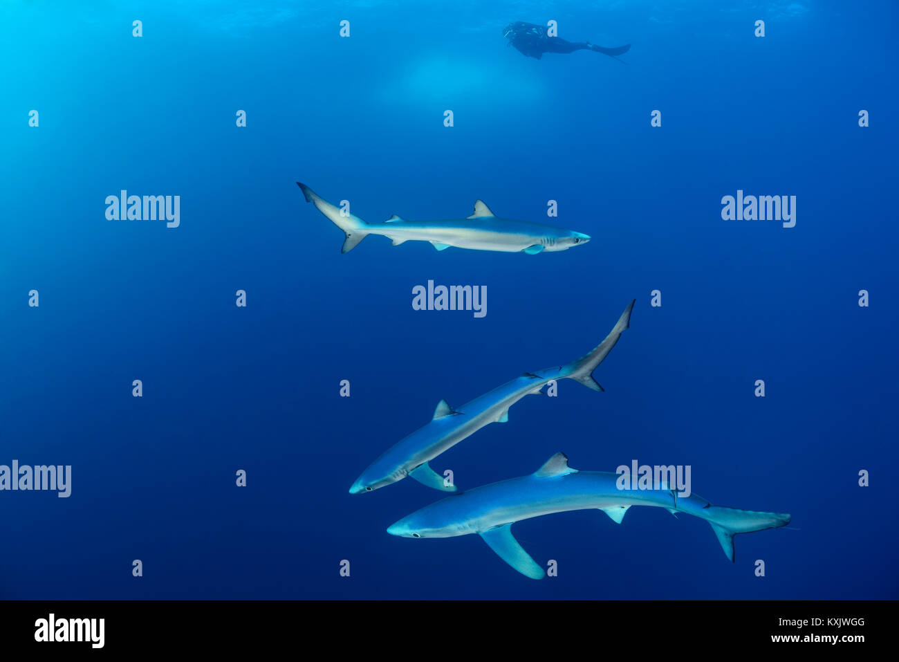 Blue sharks and scuba diver, Prionace glauca, Cape of Good Hope, South Africa, offshore in the Atlantic - Stock Image