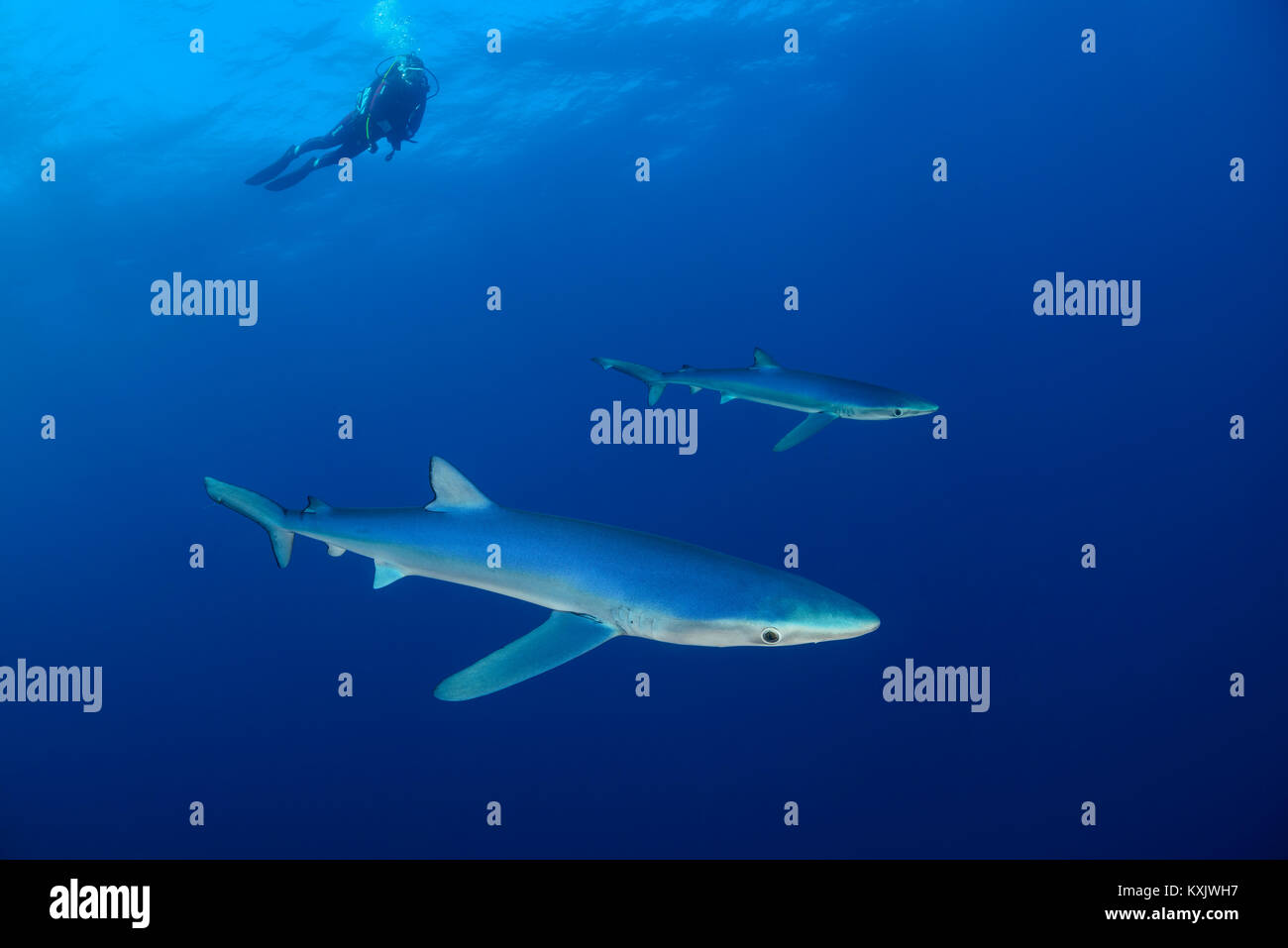 Blue shark and scuba diver, Prionace glauca, Cape of Good Hope, South Africa, offshore in the Atlantic - Stock Image