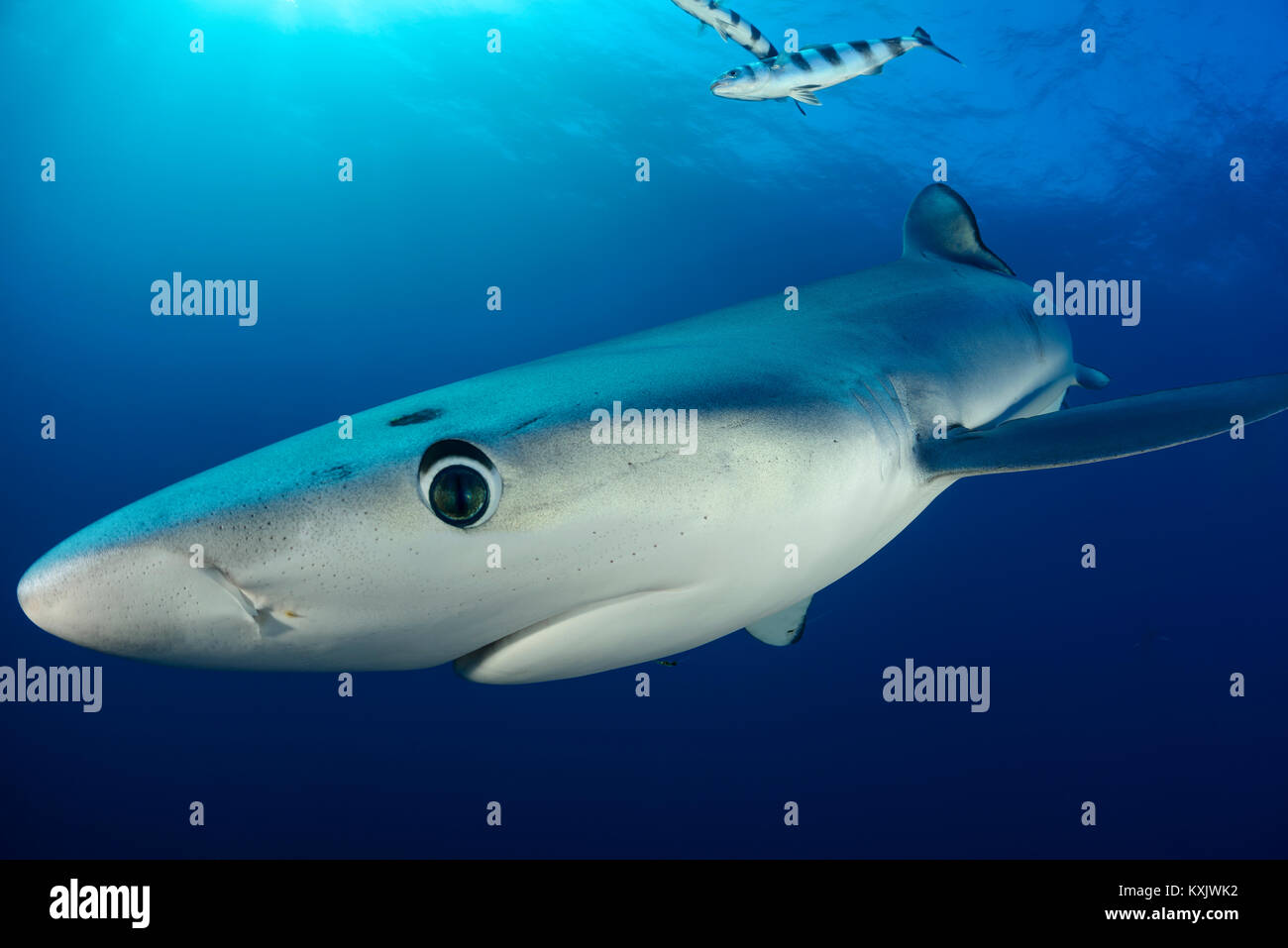 Blue shark, Prionace glauca, Cape of Good Hope, South Africa, offshore in the Atlantic - Stock Image