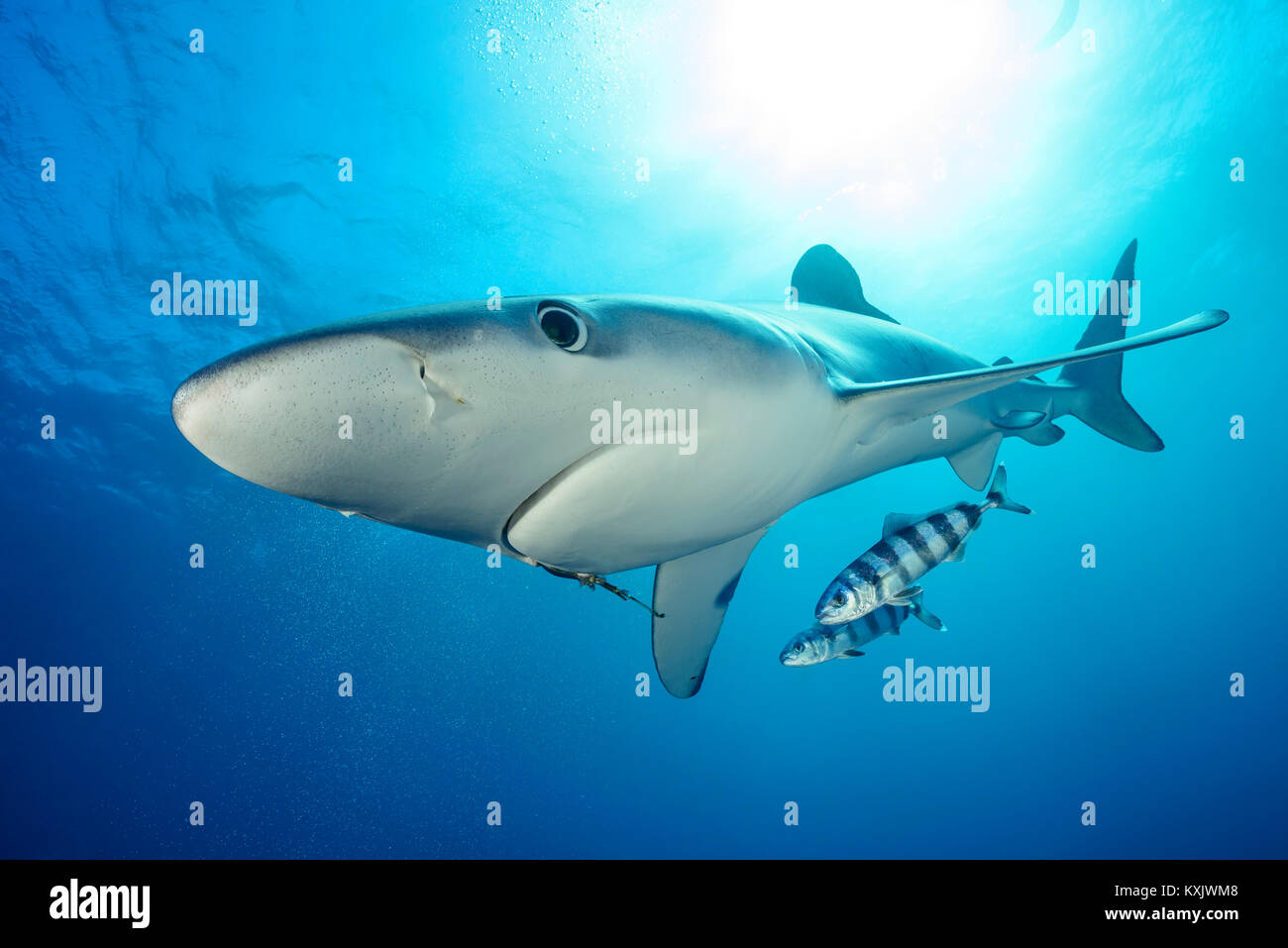 Blue shark and Pilotfish, Prionace glauca, Naucrates ductor, Cape of Good Hope, South Africa, offshore in the Atlantic - Stock Image